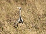 Hartlaub's Bustard (Eupodotis Hartlaubii), Serengeti National Park, Tanzania Photographic Print by Mary Ann McDonald