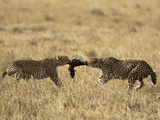 Cheetahs (Acinonyx Jubatus) with Kill, Masai Mara Game Reserve, Kenya, Africa Photographic Print by Mary Ann McDonald