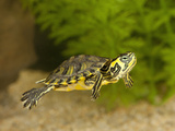 Common Slider (Trachemys Scripta Scripta) Swimming Photographic Print by Joe McDonald