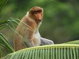 Proboscis Monkey (Nasalis Larvatus), Sabah, Borneo, Malaysia Photographic Print by Thomas Marent