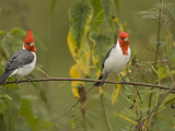 Red-Crested Cardinals, Paroaria Coronata, South America and an Introduced Species in Hawaii, USA Photographic Print by Joe McDonald