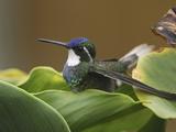 Gray-Tailed Mountain-Gem Hummingbird (Lampornis Cinereicauda), Cierro La Muerte, Costa Rica Photographic Print by Thomas Marent