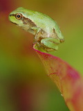 Italian Tree Frog (Hyla Intermedia) on Tip of a Leaf, Italy Photographic Print by Fabio Pupin