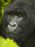 Young Male Mountain Gorilla Face, Gorilla Gorilla Beringei, in Volcanoes National Park, Rwanda Photographic Print by Joe McDonald