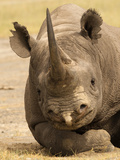 Black Rhinoceros (Diceros Bicornis), Masai Mara Game Reserve, Kenya, Africa Photographic Print by Joe McDonald