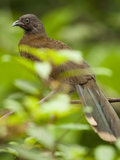 Plain Chachalaca (Ortalis Vetula), San Jose, Costa Rica Photographic Print by Mary Ann McDonald