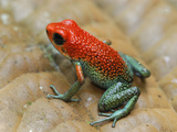 Granular Poison Frog (Oophaga Granuliferus), Corcovado National Park, Costa Rica Photographic Print by Thomas Marent