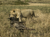 African Lion (Panthera Leo) Dragging its Wildebeest Kill Along the Ground, Masai Mara Game Reserve Photographic Print by Joe McDonald