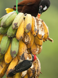 Montezuma Oropendola (Psarocolius Montezuma) with a Black-Cheeked Woodpecker Male Photographic Print by Mary Ann McDonald