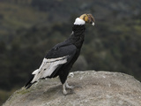 Male Andean Condor Perched on a Rock (Vultur Gryphus) Puracâ» National Park, Department Cauca Photographic Print by Thomas Marent