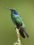Green Violet-Ear Hummingbird (Colibri Thalassinus), Cierro La Muerte, Costa Rica Photographie par Thomas Marent