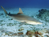 Blacknose Shark (Carcharhinus Acronotus), St Maarten, Netherland Antilles, Caribbean Sea Photographic Print by Andy Murch
