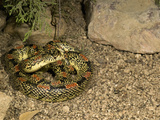 Long-Nosed Snake (Rhinocheilus Lecontei), Arizona, USA Photographic Print by Joe McDonald