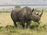 Black Rhinoceros (Diceros Bicornis), Masai Mara, Kenya Photographic Print by Joe McDonald