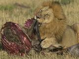 African Lion (Panthera Leo) Feeding on a Gnu or Wildebeest, Masai Mara, Kenya Photographic Print by Joe McDonald