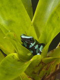 Green and Black Poison Dart Frog (Dendrobates Auratus), Costa Rica Photographic Print by Mary Ann McDonald