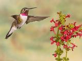 Broad-Tailed Hummingbird (Selasphorus Platycercus) Male Flying at Texas Betony (Stachys Coccinea) Photographic Print by Jack Milchanowski