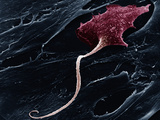 A Neuron with a Long Axon Photographic Print by David Phillips