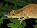 Boettger&#39;s or Blue-Nosed Chameleon (Calumma Boettgeri) Montagne D&#39;Ambre Np, Antsiranana Photographic Print by Thomas Marent