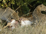 African Leopards with their Kill (Panthera Pardus), Masai Mara Game Reserve, Kenya Photographic Print by Joe McDonald