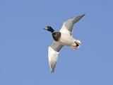 Male Mallard Duck (Anas Platyrhynchos), Montana, USA Photographic Print by Neal Mischler