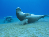 Dugong (Dugong Dugon)Scratching Itself on Coral to Remove Parasites Photographic Print by Louise Murray