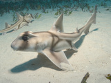 Juvenile Port Jackson Sharks (Heterodontus Portusjacksoni), Albany, Western Australia Photographic Print by Andy Murch