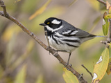 Black-Throated Gray Warbler (Dendroica Nigrescens) Perched on a Branch Photographie par Steve Maslowski