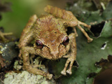 Frog (Eleutherodactylus Eriphus), Coln, Depart, Putumayo, Colombia Photographic Print by Thomas Marent