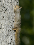 Fox Squirrel (Sciurus Niger), Montana, USA Photographic Print by Neal Mischler