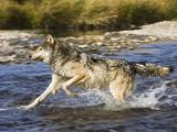 Gray Wolf (Canis Lupus) Running Through Water, Montana, USA Photographic Print by Joe McDonald