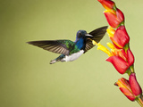 White-Necked Jacobin (Florisuga Mellivora) Nectaring at a Yellow Tubular Flower, Costa Rica Photographic Print by Joe McDonald