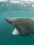 Head of a Basking Shark (Cetorhinus Maximus) with its Open Mouth Feeding on Plankton Photographic Print by Louise Murray