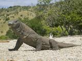 Komodo Dragon (Varanus Komodoensis), Indonesia Fotodruck von Joe McDonald