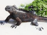 Marine Iguana (Amblyrhynchus Cristatus Hassi), Santa Cruz, Galapagos Photographic Print by Richard Roscoe