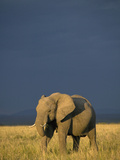African Elephant (Loxodonta Africana) Against a Stormy Sky, Masai Mara Game Reserve, Kenya Photographic Print by Joe McDonald