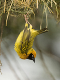 Speke's Masked Weaver Hanging from its Nest, Ploceus Spekei, Photographie par Joe McDonald