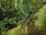Spiny Stick Insect (Haaniella Echinata), Phasmidae, Danum Valley Conservation Area, Sabah Photographic Print by Thomas Marent