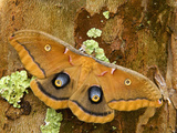 Female Polyphemus Moth (Antheraea Polyphemus), Florida, USA Photographic Print by Leroy Simon