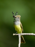Great Crested Flycatcher (Myiarchus Crinitus) with Dragonfly Prey in its Beak, Pennsylvania, USA Photographie par Joe McDonald
