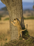 African Lion (Panthera Leo) Cub Pawing a Tree, Masai Mara, Kenya Photographic Print by Joe McDonald