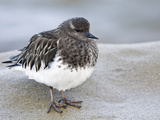 Black Turnstone (Arenaria Melanocephala) in Winter Plumage, La Jolla, California, USA Photographic Print by Arthur Morris