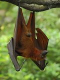 Large Flying Fox (Pteropus Vampyrus), Malaysia Photographic Print by Thomas Marent
