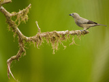Palm Tanager (Thraupis Palmarum), Arenal, Costa Rica Photographie par Mary Ann McDonald