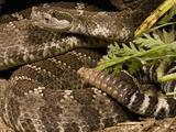 Northern Pacific Rattlesnake, (Crotalus Viridis Organus) Hiding in Underbrush Photographic Print by Joe McDonald