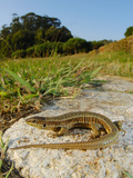 Bocage's Wall Lizard Female (Podarcis Bocagei), Portugal Photographic Print by Fabio Pupin