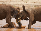African Elephants (Loxodonta Africana) Play Fighting in Waterhole, Samburu Game Reserve, Kenya Photographic Print by Mary Ann McDonald