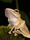 Borneo Eared Frog (Polypedates Otilophus), Borneo, Captivity Photographic Print by Joe McDonald