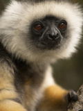 Diademed Sifaka (Propithecus Diadema), Madagascar, Africa Photographic Print by Joe McDonald