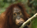 Bornean Orangutan Face (Pongo Pygmaeus), Camp Leaky, Tanjung Puting National Park, Kalimantan Photographic Print by Thomas Marent